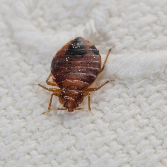 Bed Bugs, Pest Control in Brompton, SW3. Call Now! 020 8166 9746
