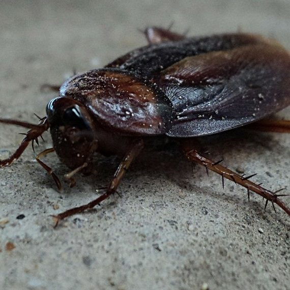Cockroaches, Pest Control in Brompton, SW3. Call Now! 020 8166 9746