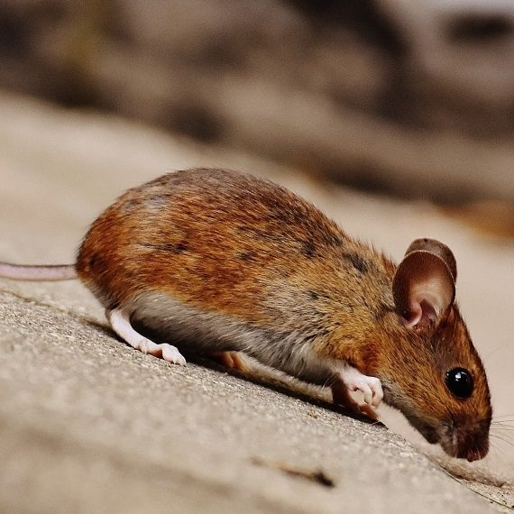Mice, Pest Control in Brompton, SW3. Call Now! 020 8166 9746