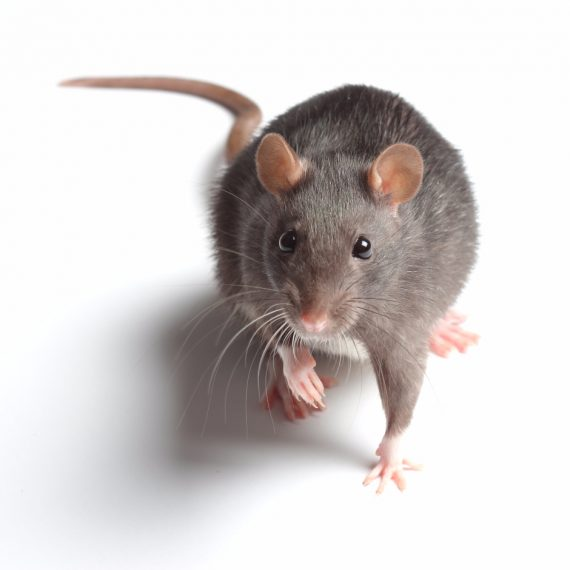 Rats, Pest Control in Brompton, SW3. Call Now! 020 8166 9746