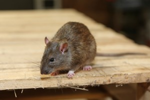 Rodent Control, Pest Control in Brompton, SW3. Call Now 020 8166 9746