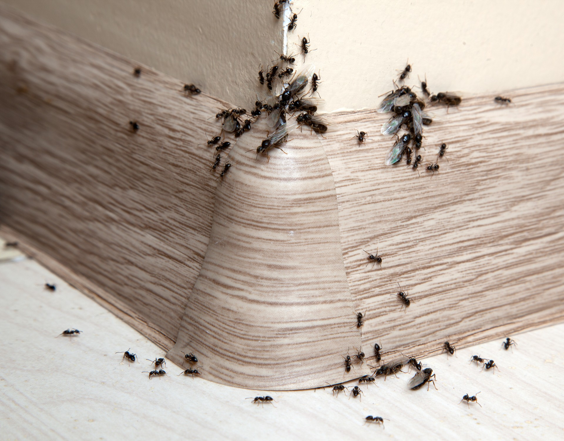 Ant Infestation, Pest Control in Brompton, SW3. Call Now 020 8166 9746