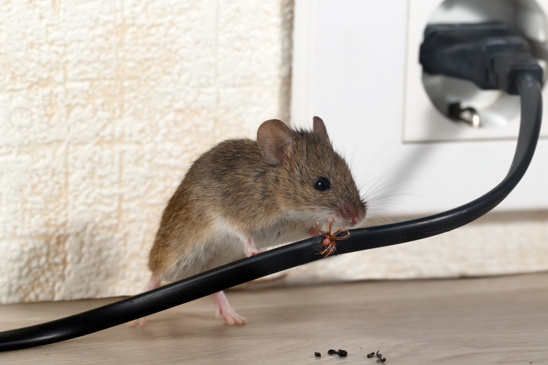 Mice Infestation, Pest Control in Brompton, SW3. Call Now 020 8166 9746